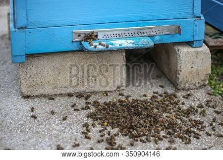 Dead Bees Hive On The Cover After The Winter. Dead Insects. Dead Honey Bees - Poisoned By Pesticides