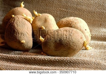 Close-up Of A Heap Of Old Potatoes With Wrinkly Husk With White Sprouts
