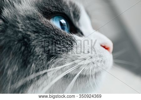 Lovely Funny Cat Face. White Cat Pink Nose, Blue Eye, Whiskers, Macro View. Curious Animal Portrait