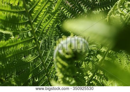 Background From Fern Close Up And Copy Space. Texture Of Natural Fern Leaf Macro. Selective Focus. B