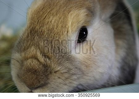 The Rabbits Face. The Muzzle Of A Brown Rabbit. The Pretty Face Of A Little Brown Rabbit. An Image O