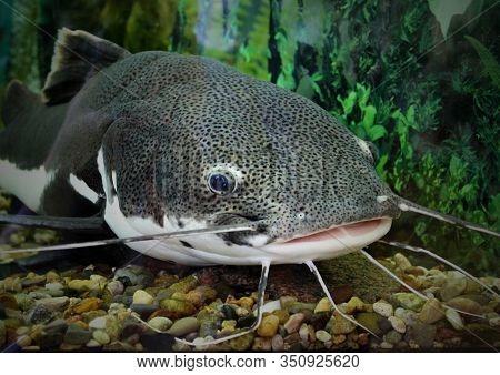 Catfish In The Ocean Aquarium. Fish From Ocean In The Aquarium. Red-tailed Catfish In An Aquarium Wi