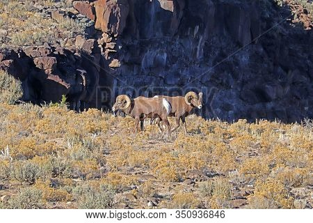 Two Rams Of Rocky Mountain Bighorn Sheep (ovis Canadensis) On The Plateau Above The Rio Grande River