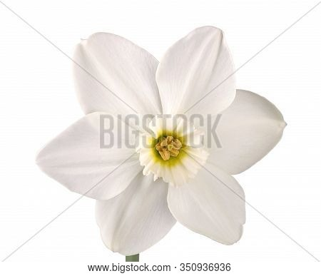 Single Flower And Stem Of The Green-eyed, Small-cup Daffodil Cultivar Emerald Stone Isolated Against