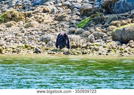 Wild Black Bear, Ursus Americanus, On Rocky Beach Clambering Through The Rocks. Vancouver Island, Br