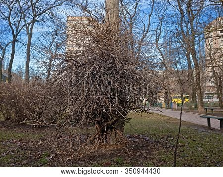 The Dense Interweaving Of The Branches Of The Shrub Disguised A Pole Of Electric Lighting. It Looks