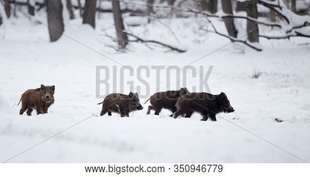 Group Of Young Wild Boars (sus Scrofa Ferus) Walking On Snow In Forest