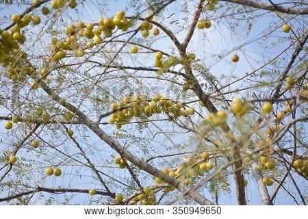 Indian Gooseberries Or Amla Fruit Hanging On Tree. Indian Gooseberry Is An Essential Ingredient Of T