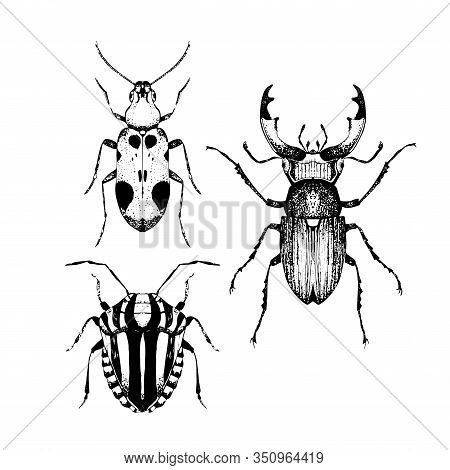 Hand Drawn Collection Of Sketched Beetles. Vector Illustration Of Insects. Black And White Entomolog