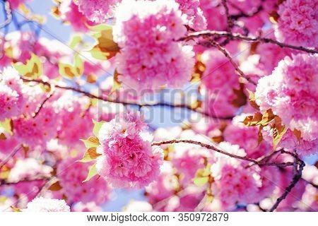 Cherry Blossom. Sacura Cherry-tree. Beautiful Nature Scene With Blooming Tree And Sunny Day. Sakura