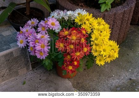 Bunch Of Colorful Daisy Like Flowers In Flower Pot In The Street
