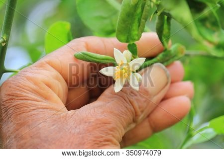 Young White Flowers Of Lemon Growing In Garden With Human Hand, Rowing Organic Lemon Flowers. Lemon