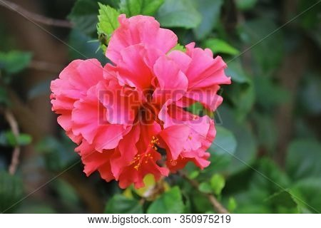 Close Up Of Red Hibiscus Flower Full Blooming In Spring Garden,concept For Spring, Hibiscus Flower B