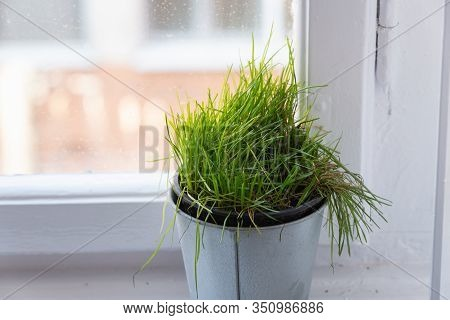Vase Of Cats Grass Background. Vase With Cats Grass On White Background. Background Image Of Cats Gr