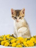 striped kitten and yellow flowers isolated on blue poster