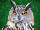 Face of Eurasian Eagle Owl with green background poster