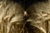 Araneus diadematus spider in wheat field at night poster