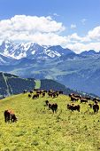 alpine landscape and cows in France in spring poster