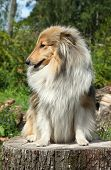 Shetland Sheepdog sitting on a tree stump. Outdoor shoot poster