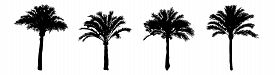 Set Palm Trees Silhouette Isolated On White Background. Collection Silhouettes Of Black Realistic Tr