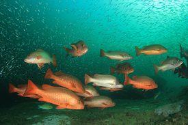 Red Snapper fish school underwater