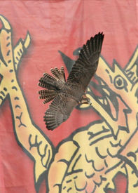 A Falcon Flying