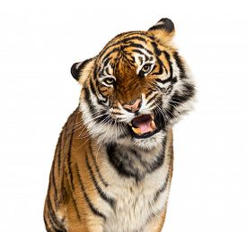 Close-up on a Grumpy tiger's head, big cat, isolated on white