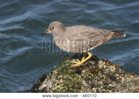 Surfbird On Rock