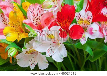 Lilium orientale Almeria. bouquet of colorful flowers. close up.