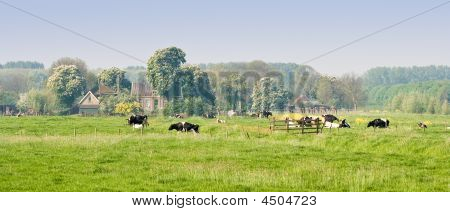 Dutch landscape with farm blooming trees and cows on a silent april morning poster