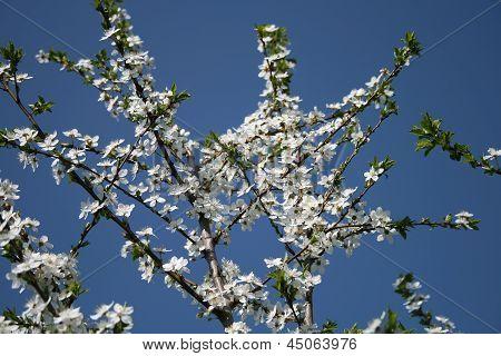 Apple Blossom On A Blue Sky Background