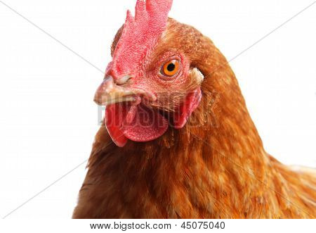 Chicken Head Close Up Isolated On White