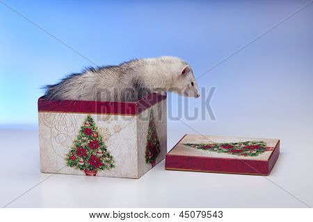 A white ferret is climbing out of the christmas box. poster