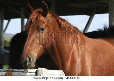 Brown Horse Portrait