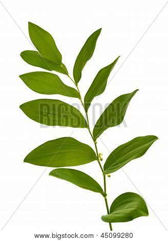 Woodland Plant