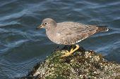 surfbird sitting on rock on oregon coast. ** Note: Slight blurriness, best at smaller sizes poster