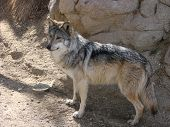 Mexican wolf in living desert museum Palm Springs. poster