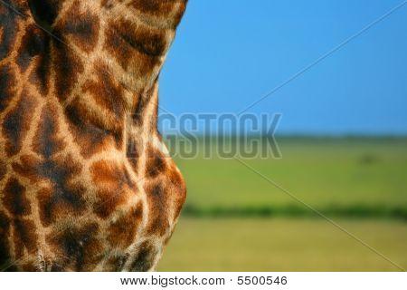 Close-up on Giraffe skin. Africa. Kenya. Masai Mara. poster