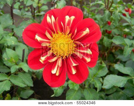 Heartthrob Dalia Flower