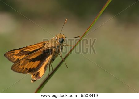 Orange Skipper Butterfly