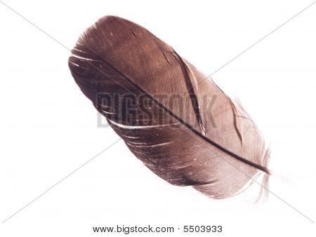 Battered feather from a blackbird over a white background. poster