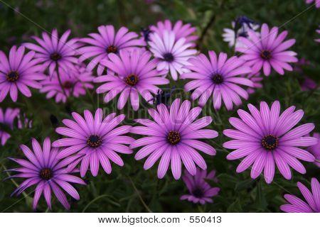 Close Purple Bunch