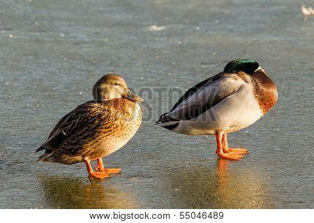 A pair of mallard ducks asleep on the ice