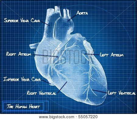 The Human heart blueprint concept.