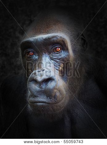 The Gorilla portrait.