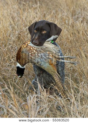 Hunting Pheasants