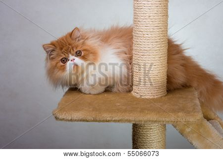 House Persian kitten of a red and white color on simple background poster