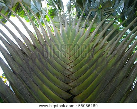 leaves of a big fan palm tree (travellers tree). picture taken from a special angle poster