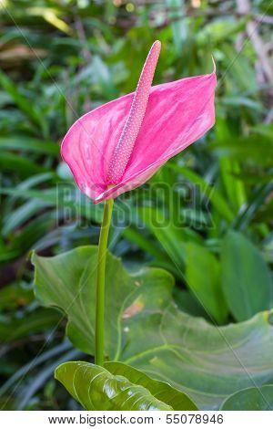 Anthurium andraeanum flower