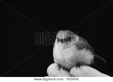 B & W Bird On Fingers